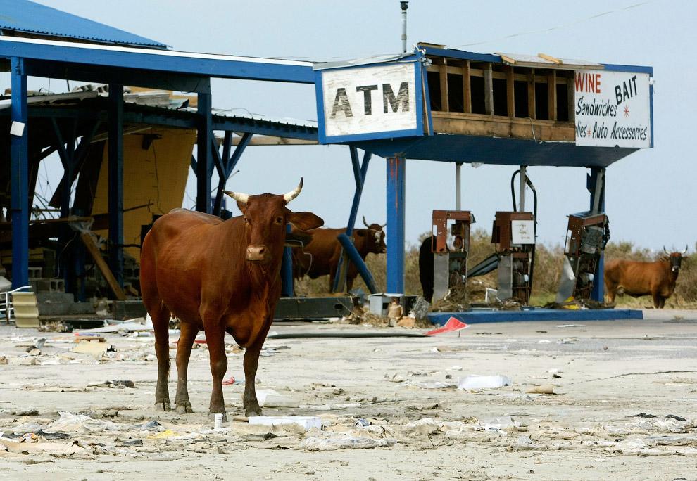 То ли ураган разнес заправку, то ли буйные коровы