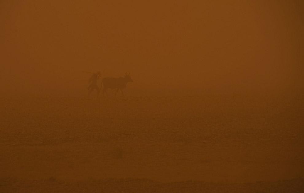 Во время песчаной бури корова всегда укажет верный путь