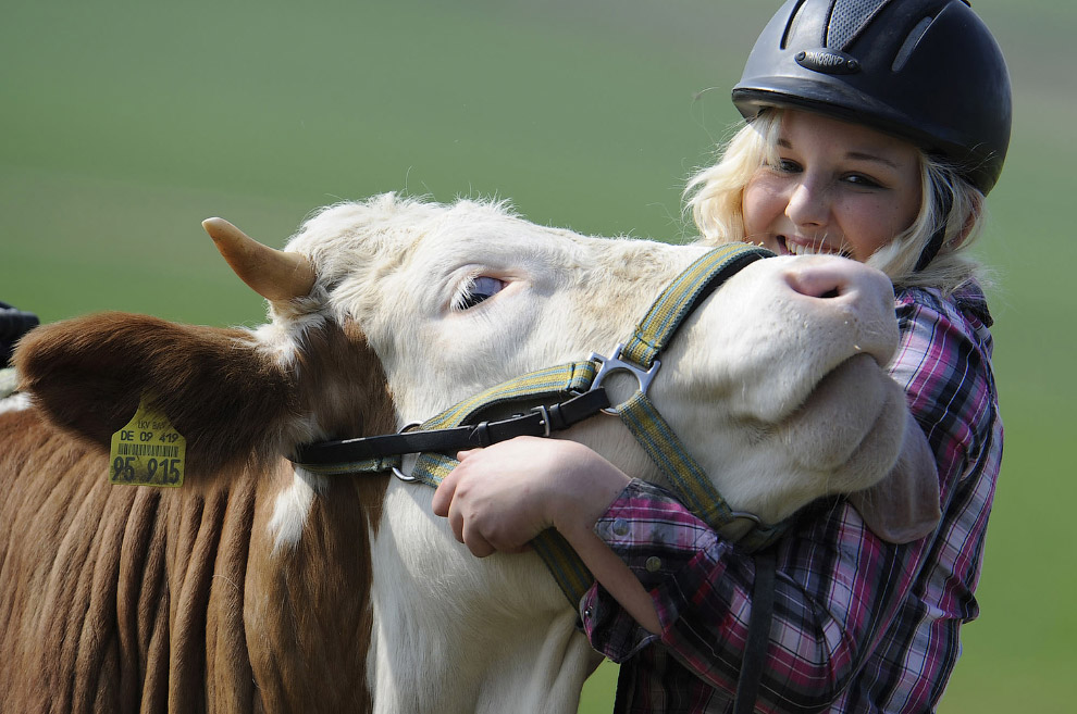 Коровы любвеобильны