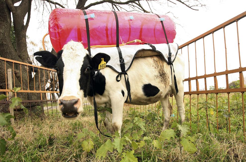 коровы-исследователи