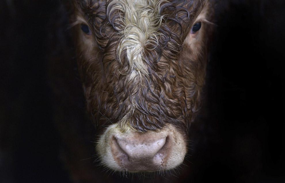 Коровы-модницы