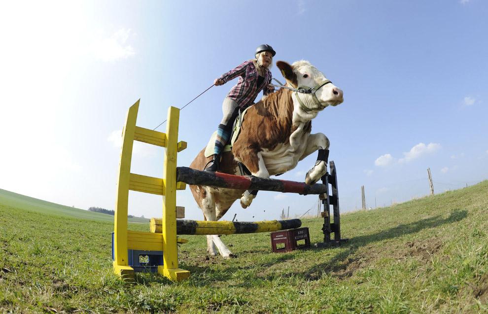 Коровы-легкоатлеты