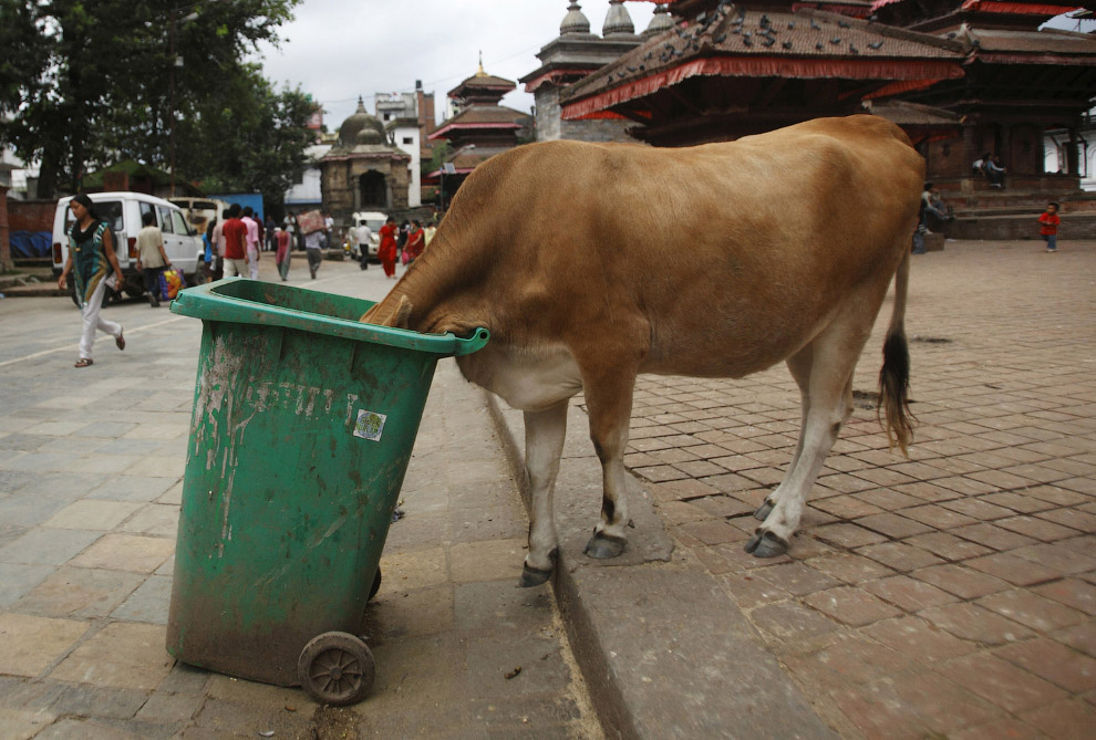 Коровы-бомжи