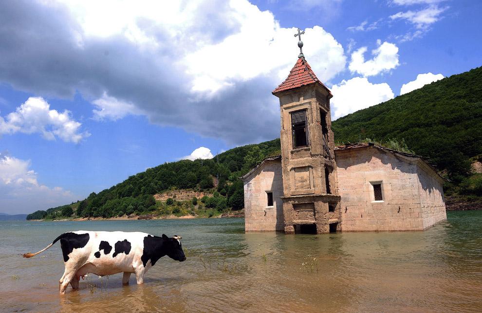 коровы — не водоплавающие