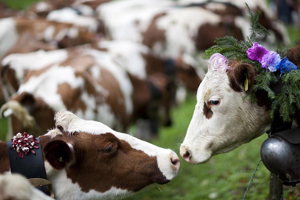 Коровы очень романтичны