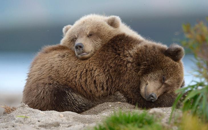 Быть или не быть уникальному российскому фильму о медвежьей семье?