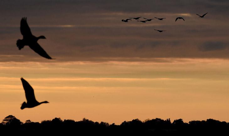 Миграция гусей