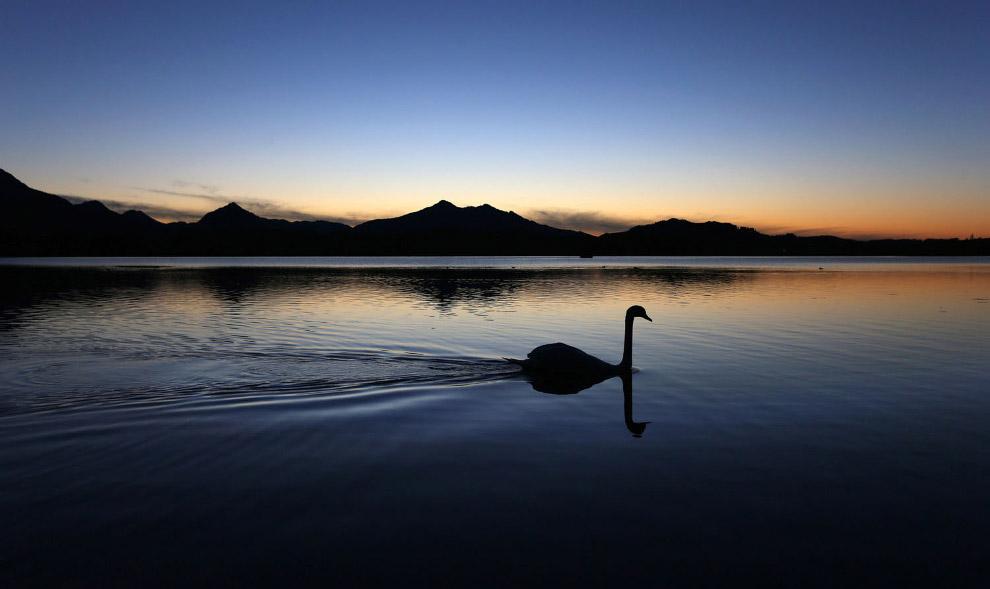 Одинокий лебедь на озере Хопфензее, Германия