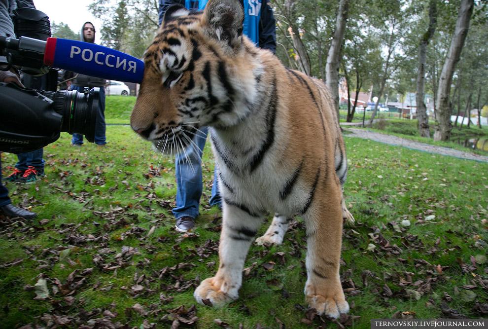 Журналисты и тигренок Мир