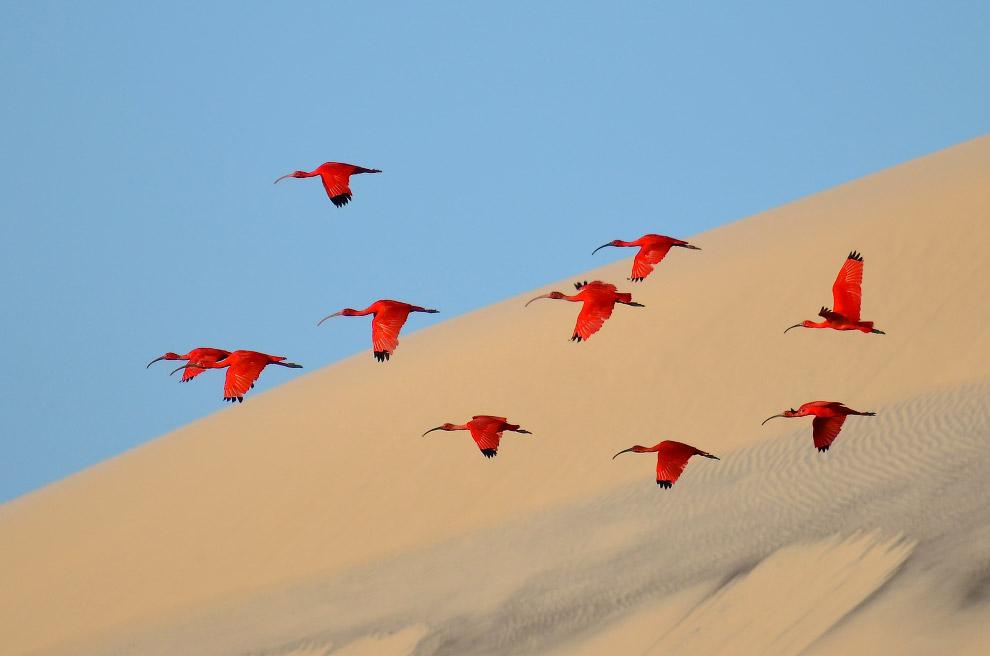 Красные ибисы на северо-востоке Бразилии