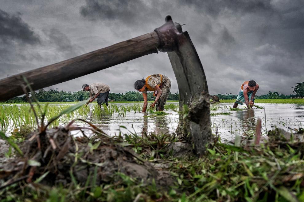 Семья работает на рисовом поле, Западной Бенгалии, Индия