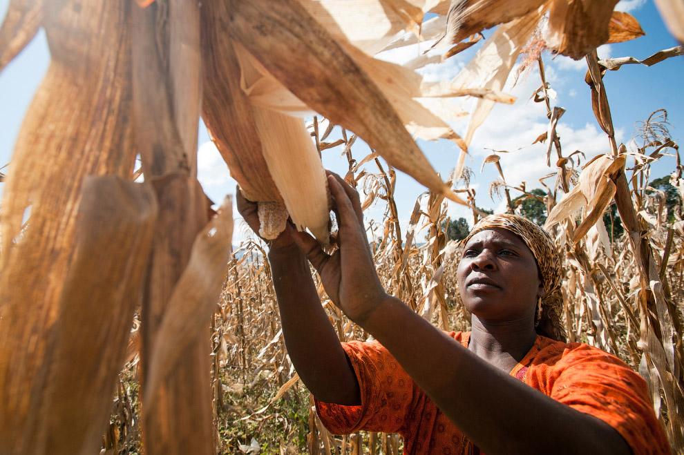 Сбор урожая кукурузы в Танзании