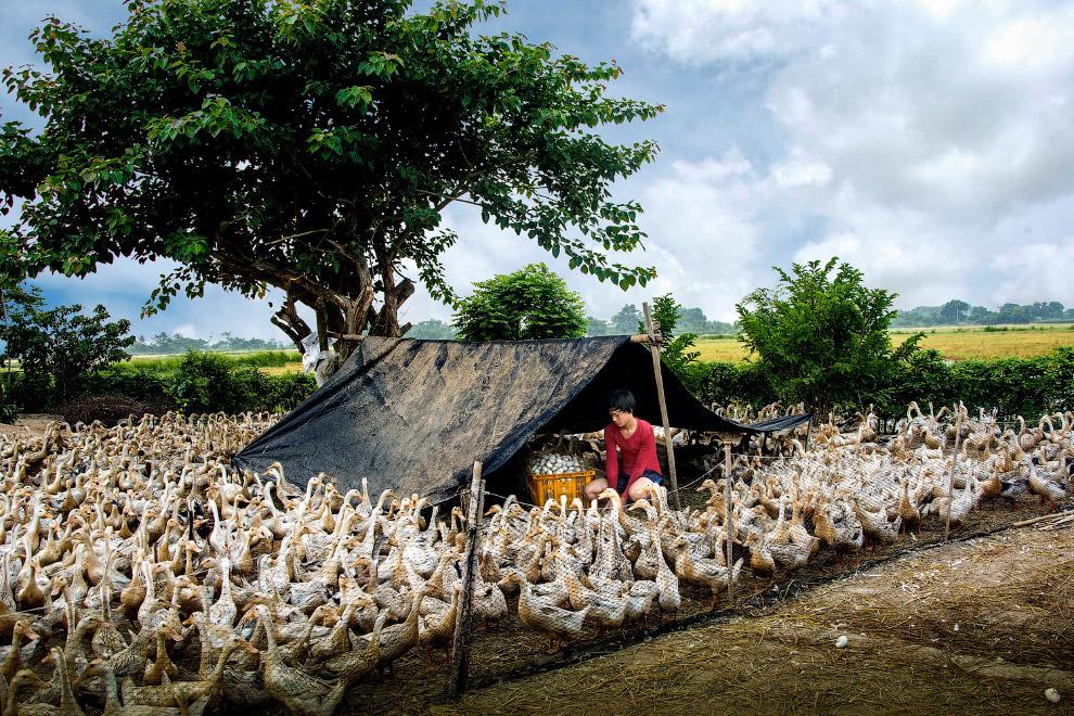 Разведение уток во Вьетнаме