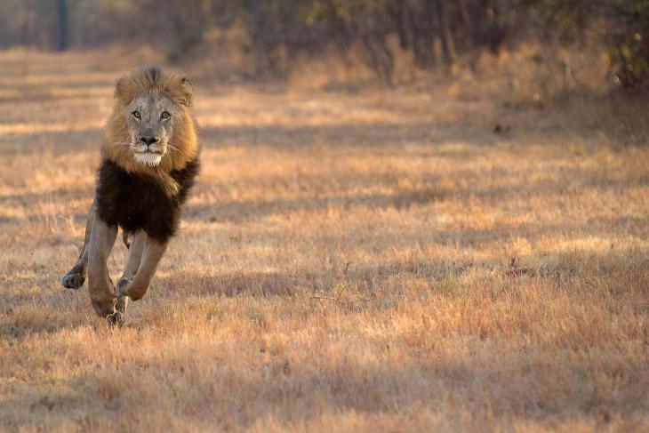 Глава львиного прайда