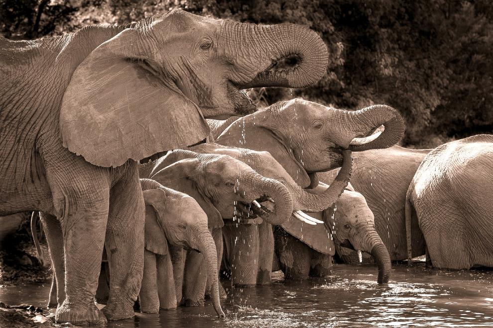 Слоны на водопое в Национальном парка Крюгера