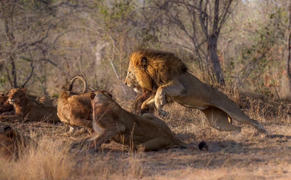 Лев показывает львицам, кто в прайде хозяин