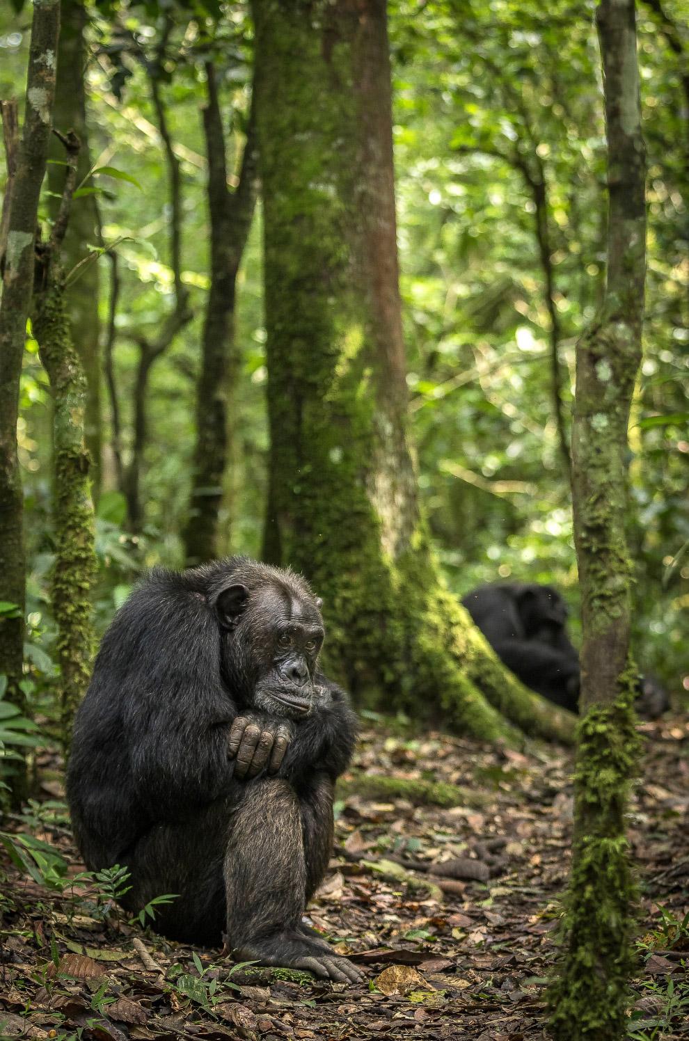 Усталый и задумчивый шимпанзе в лесах Уганды