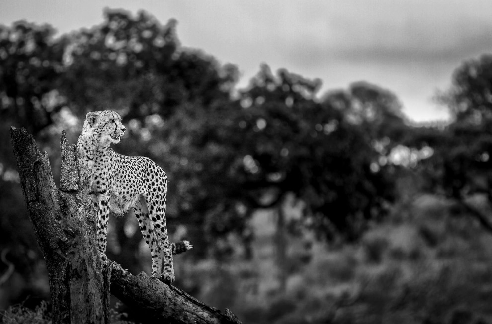 Самое быстрое животное на планете, гепард