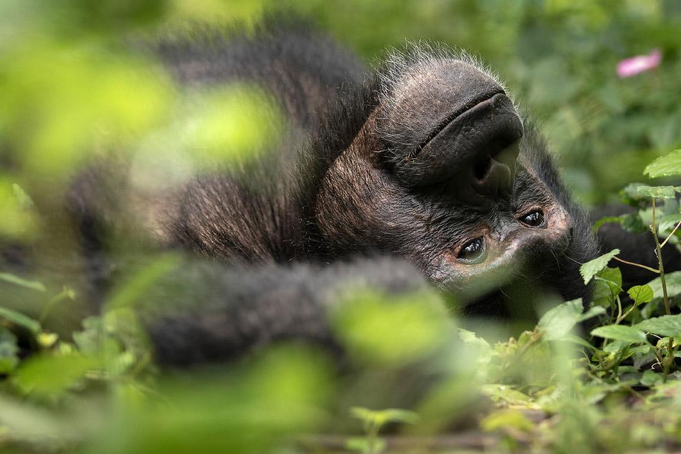 Шимпанзе-мечтатель
