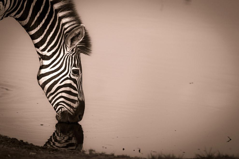 Зебра на водопое