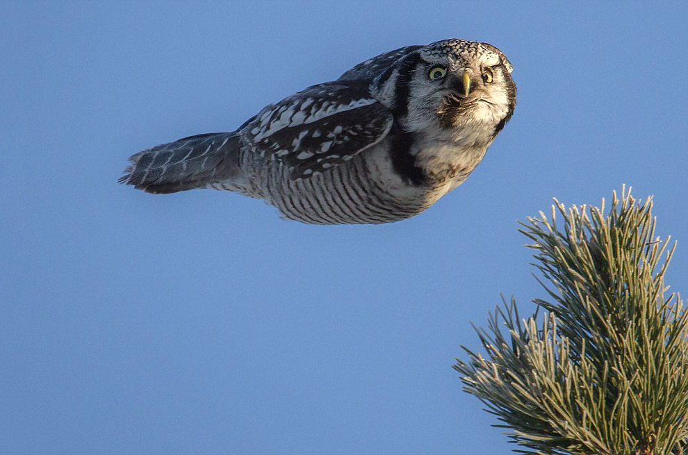 Ястребиная сова, Финляндия