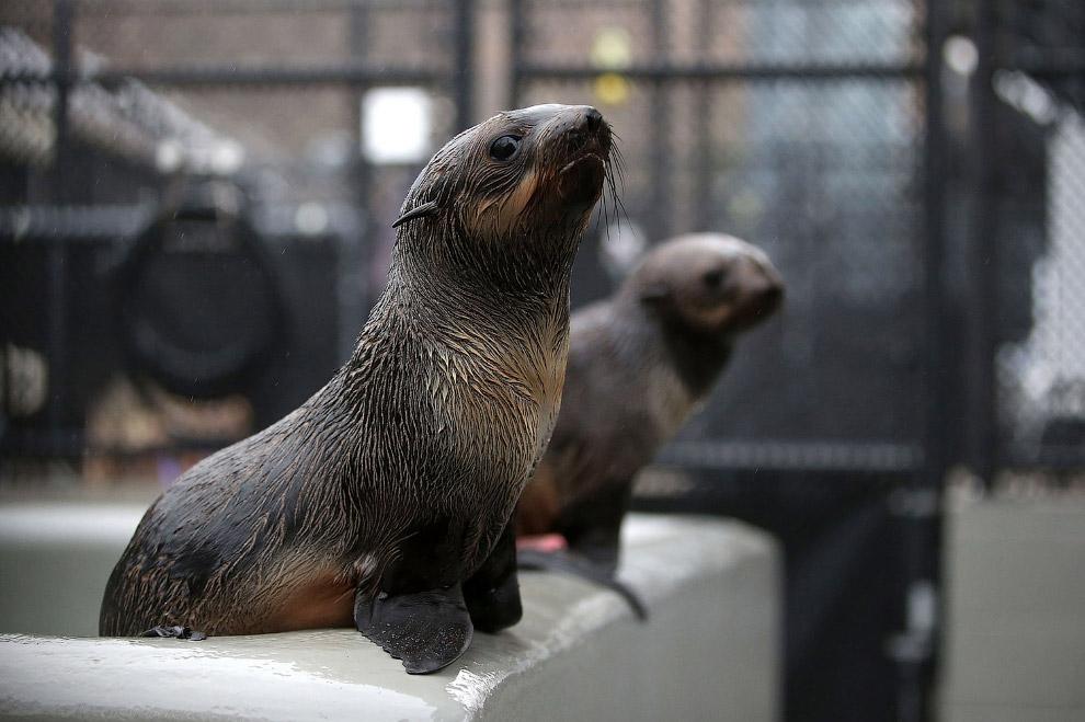 Морской котик в реабилитационном центре в Калифорнии
