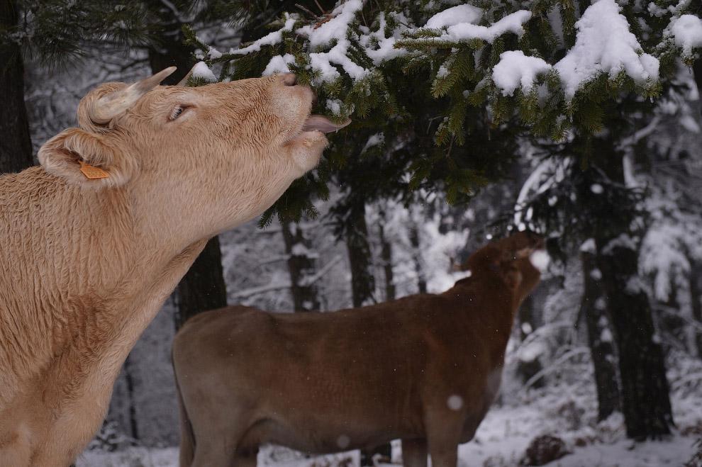 Корова ест хвою в лесу в Испании