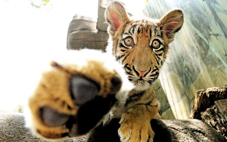 Тигриное селфи, Австралия