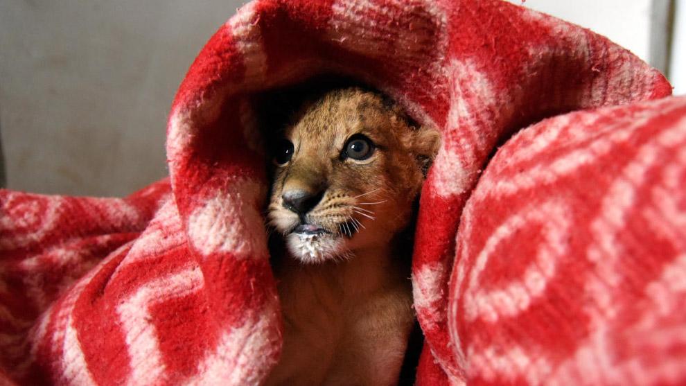 Львенка греют в одеяле во время отключения электроэнергии в сафари-парке, расположенном в 50 км к востоку от Симферополя, Крым.