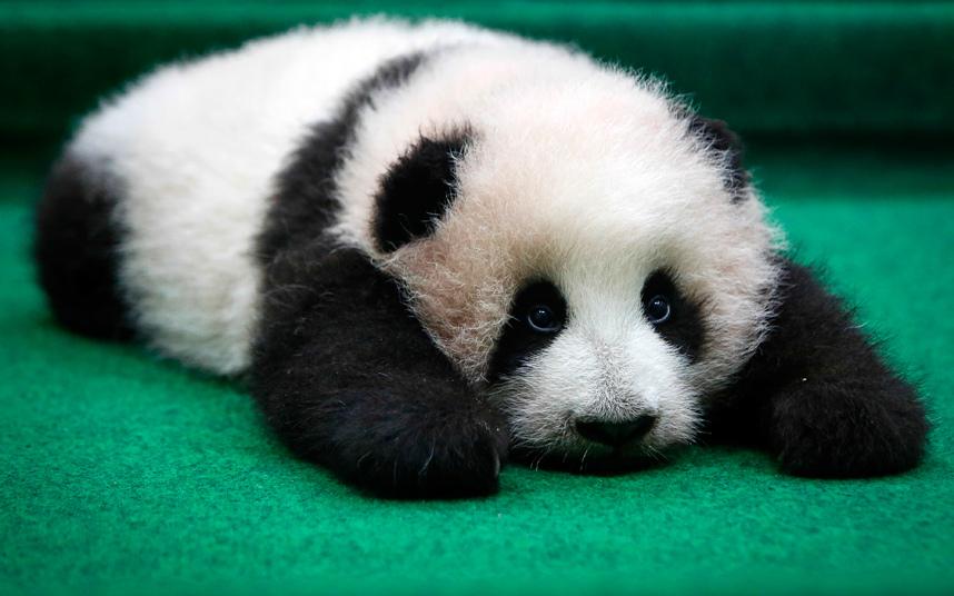 4-месячная панда в зоопарке в Куала-Лумпуре, Малайзия
