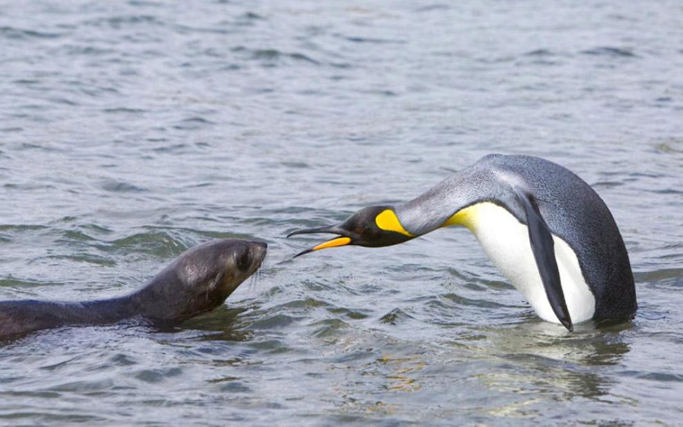 Разборки тюленя и пингвина на острове Южная Георгия