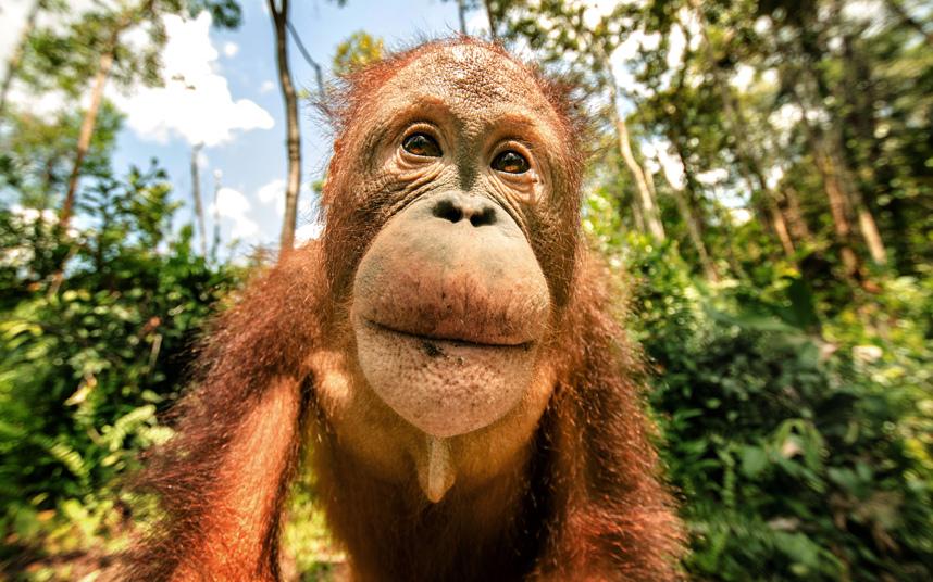 Маленький орангутанг с Борнео, Индонезия