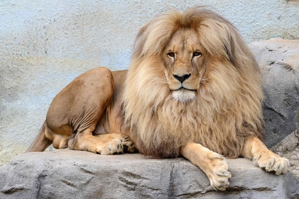 Лев Леон в зоопарке в Чехии