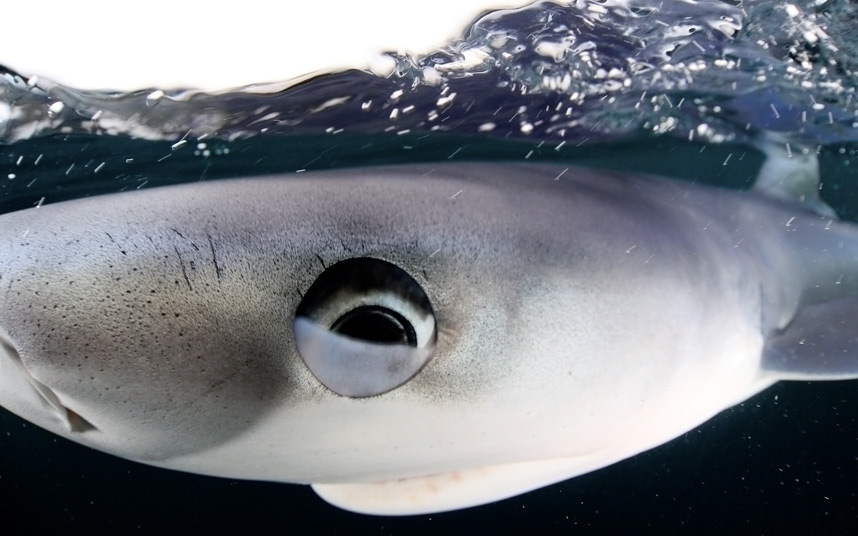 Любознательная акула у берегов Англии