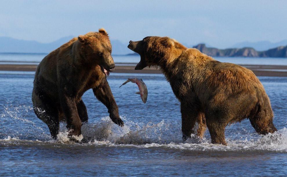 Медведи ссорятся из-за рыбы на Аляске