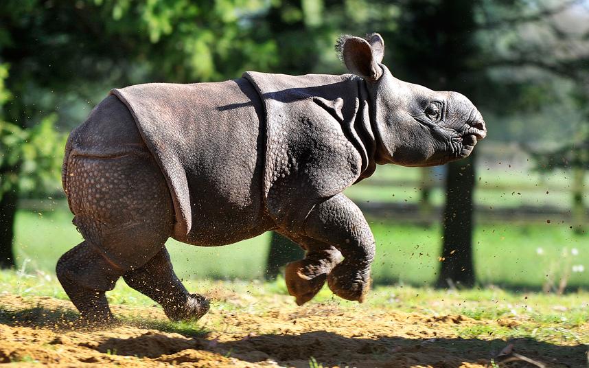 Носорожек на Бали