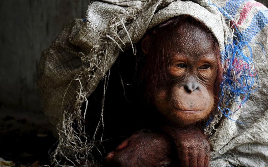 Этого орангутанга власти Индонезии забрали у хозяина, который содержал его в качестве домашнего животного
