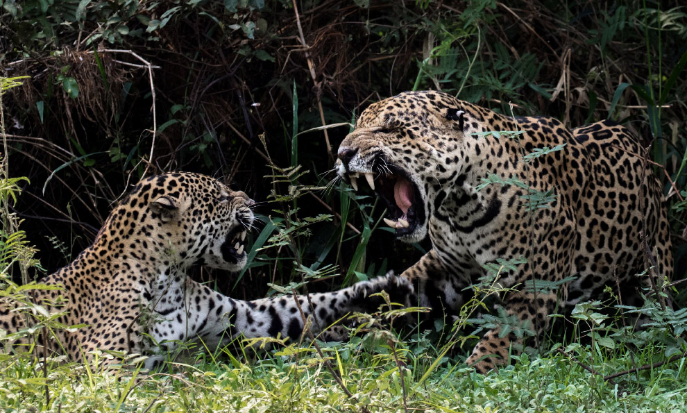 Разговор у ягуаров