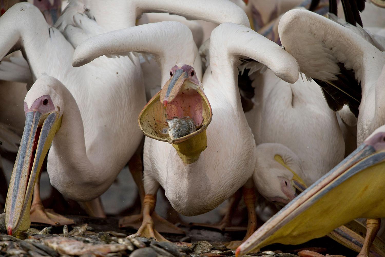 Редкий снимок, где можно увидеть «резервуар для еды» пеликана во всей красе