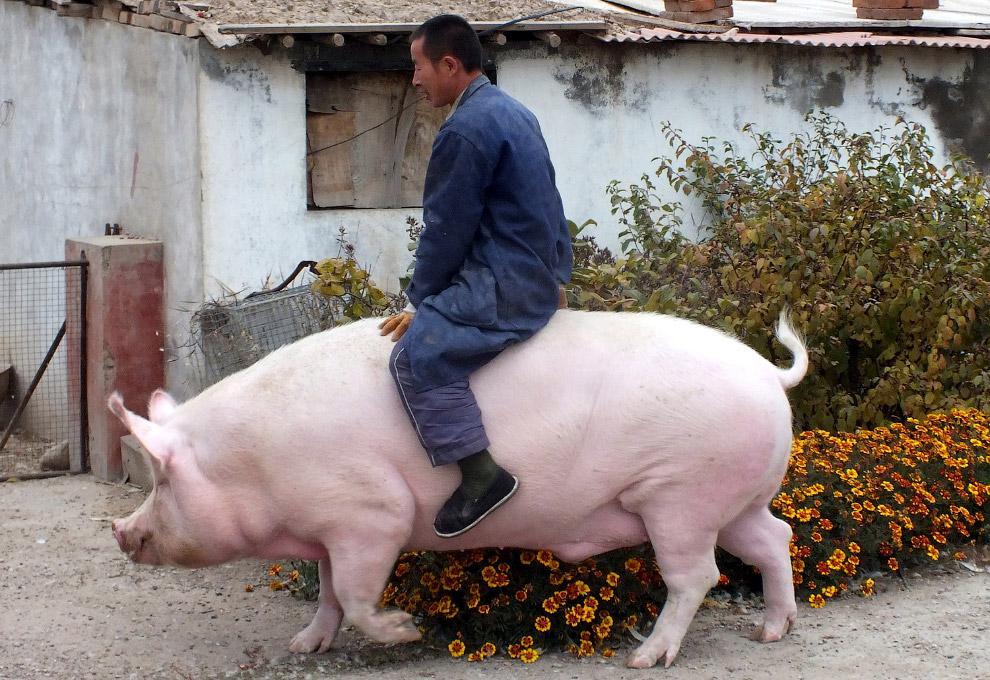 Любимое домашнее животное фермера из Китая
