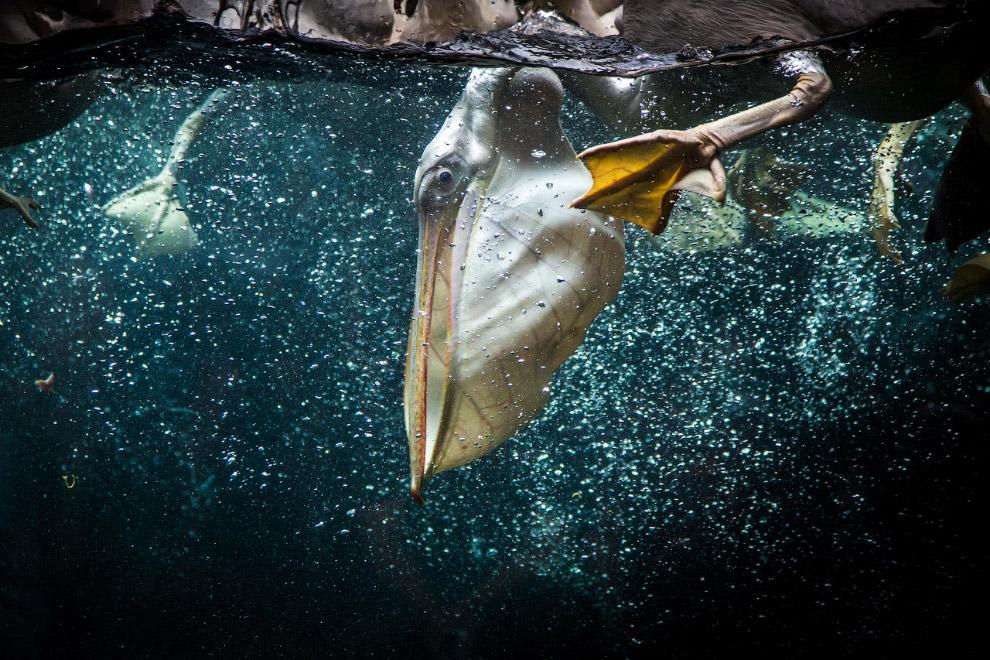 Впрочем, и сама пеликанья рыбалка выглядит не менее интересно