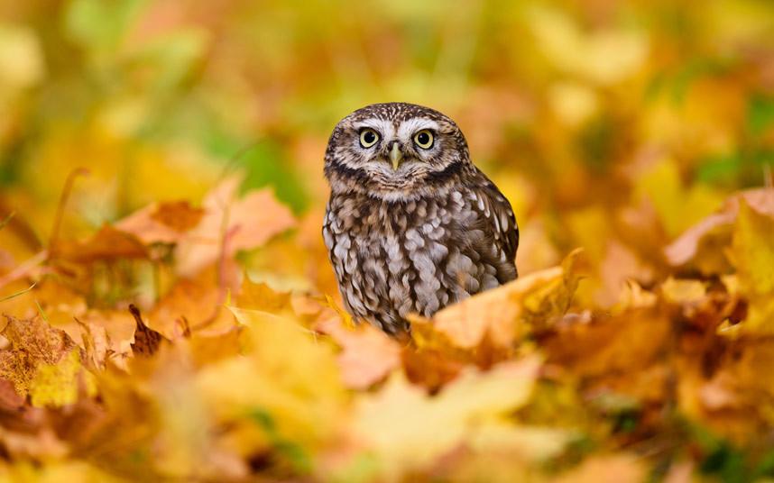 Домовой сычик в осенней листве