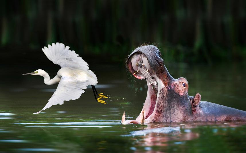Цапля взлетает, бегемот зевает на озере Мбуро в Уганде