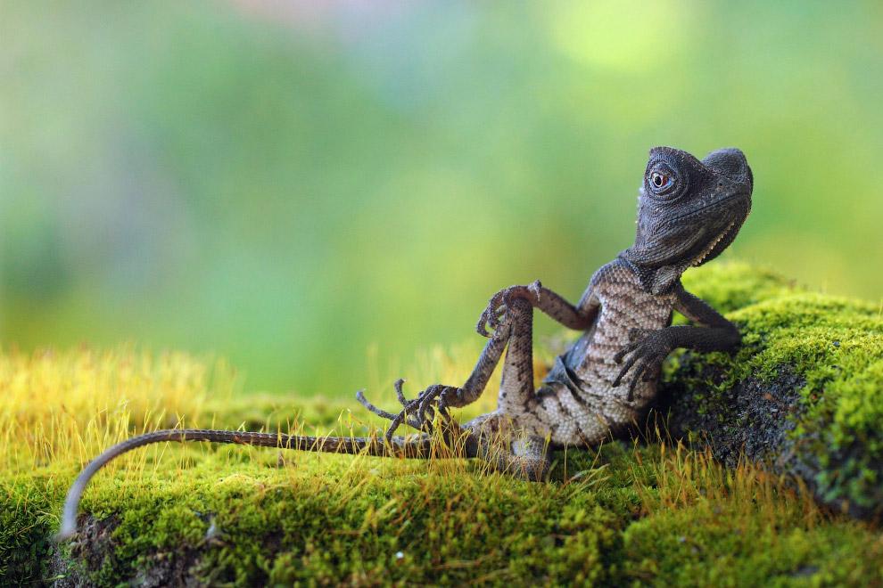 Ящерица в Индонезии