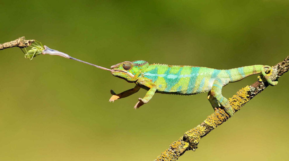 Язык хамелеон выбрасывает менее чем за 0.003 секунды