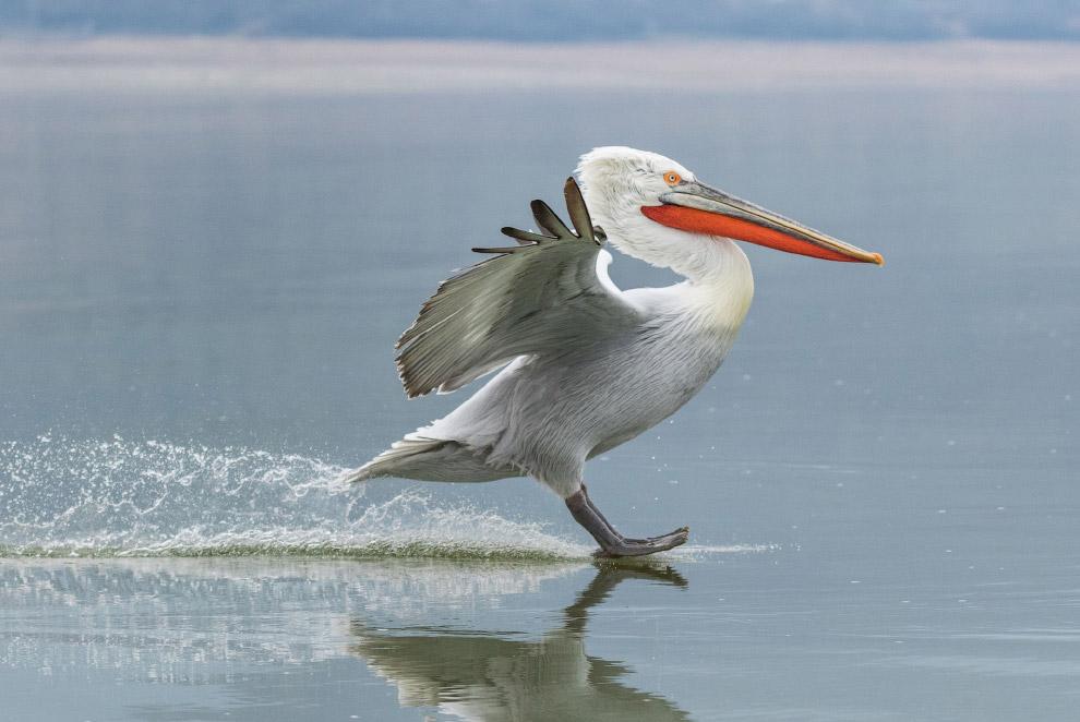 Мягкая посадка на воду кудрявого пеликана
