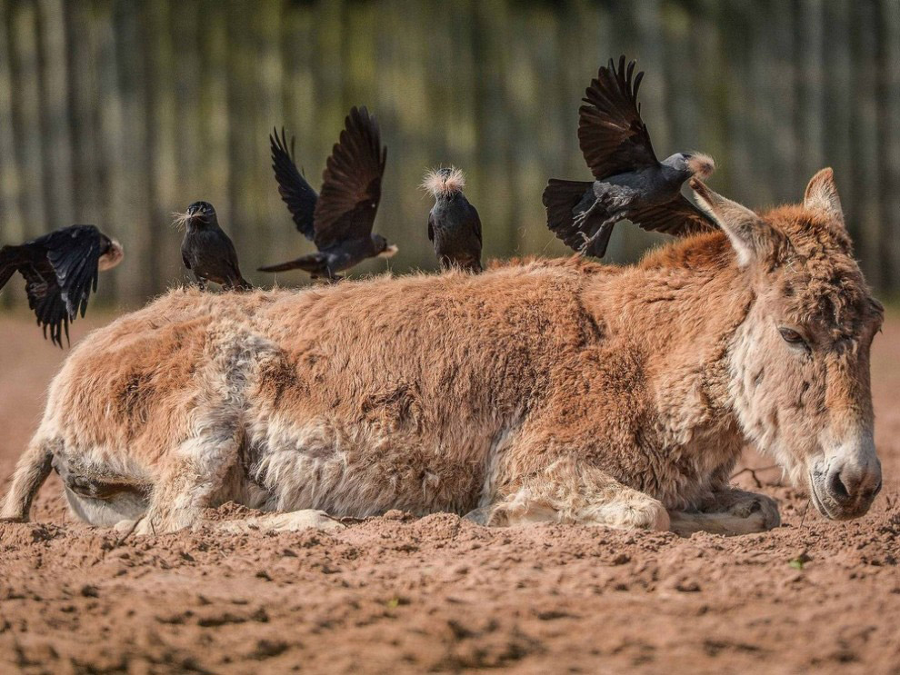 Дикий ослик в зоопарке Честера дает щипать себя галкам