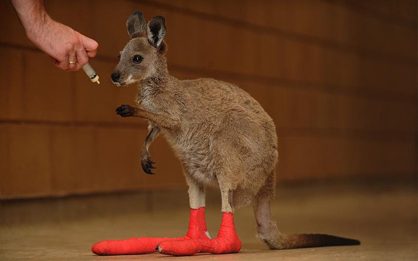 Этот детеныш кенгуру получил травму во время лесного пожара, и сейчас он проходит курс лечения в австралийском зоопарке