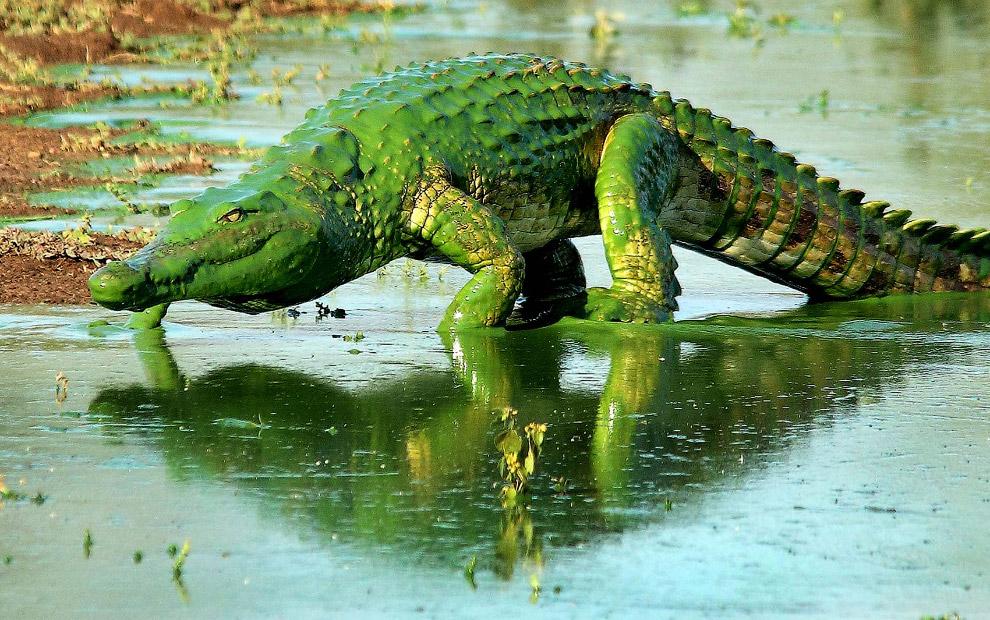 Крокодил в Национальном парке Крюгера, Южная Африка