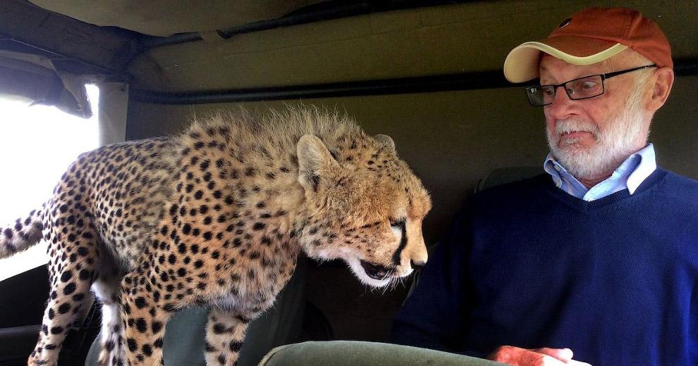 Гепард запрыгнул в джип к туристу в заповеднике Масаи Мара в Кении